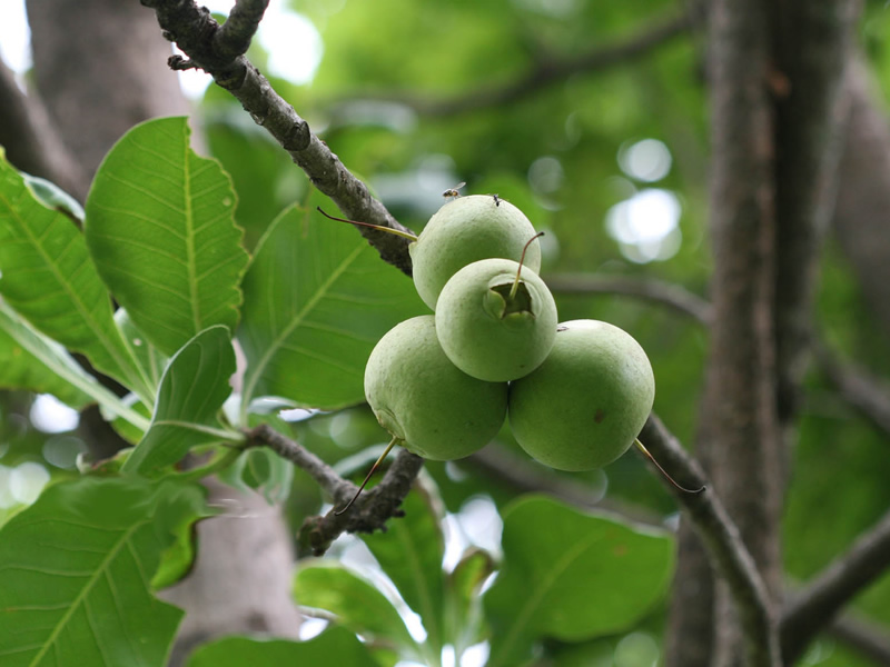 Kumbini-tree