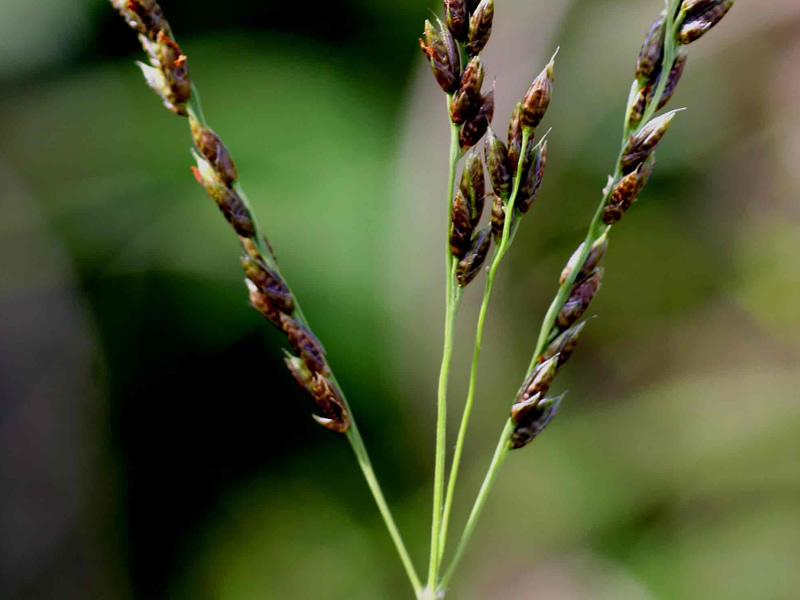 alloteropsis-ciimicina-grass