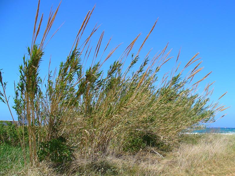 arundo-donax-grass