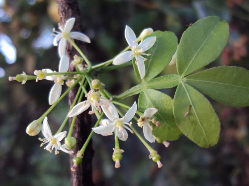 ban-naringi-tree