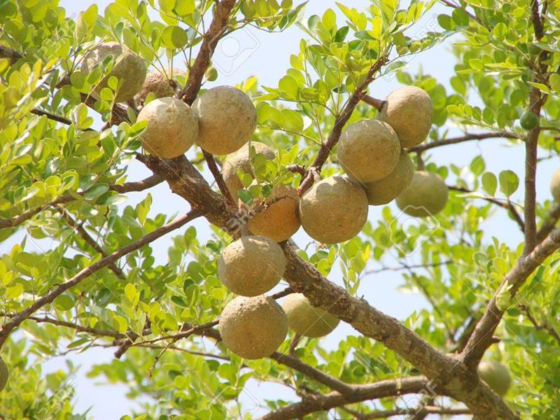 bel-tree