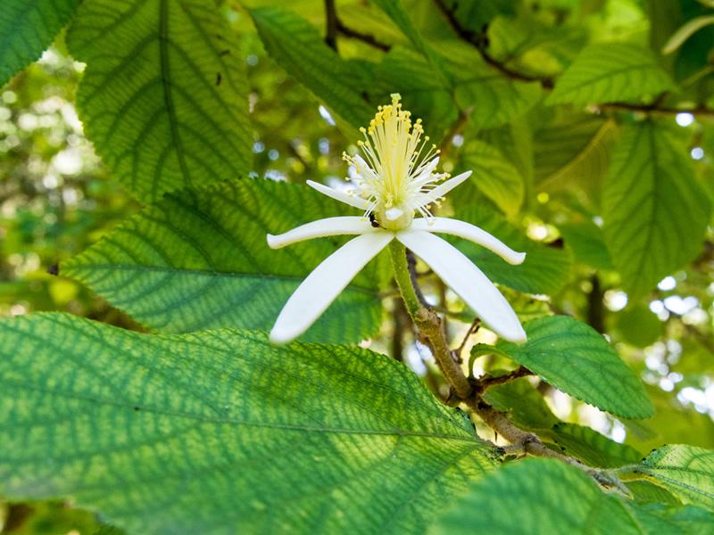 bhimal-tree