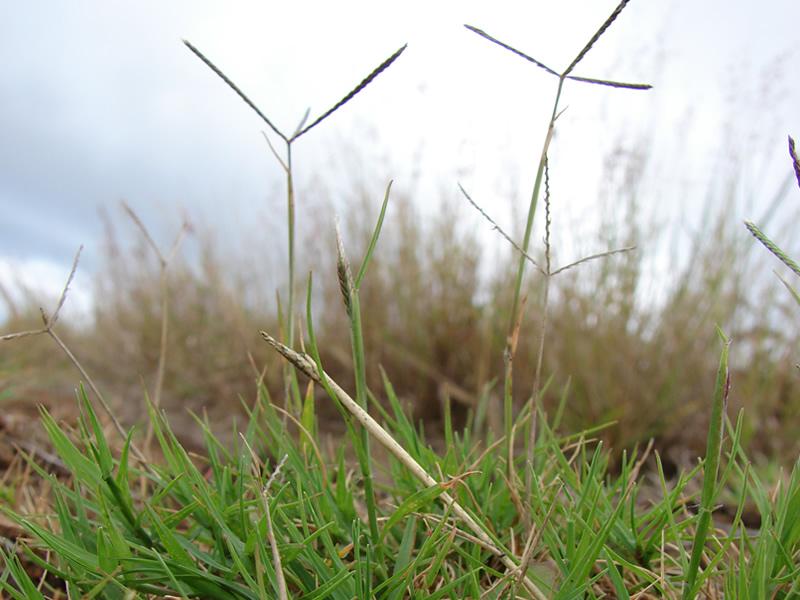 cynodon-arcuatus-grass