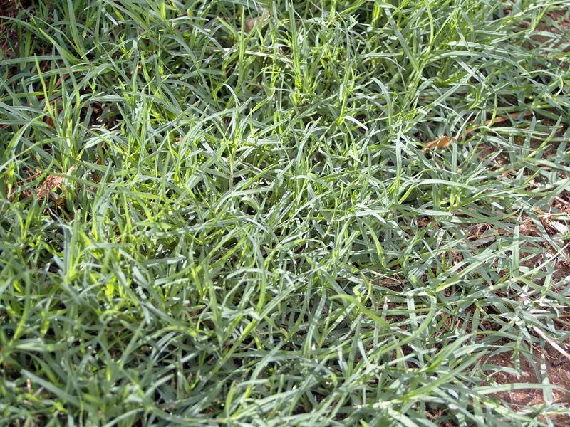 cynodon-dactylon-grass