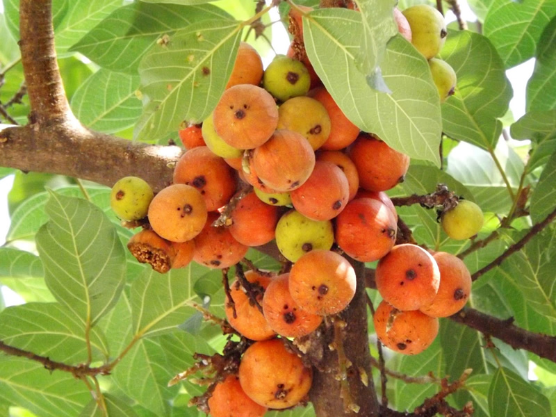 goolar-tree