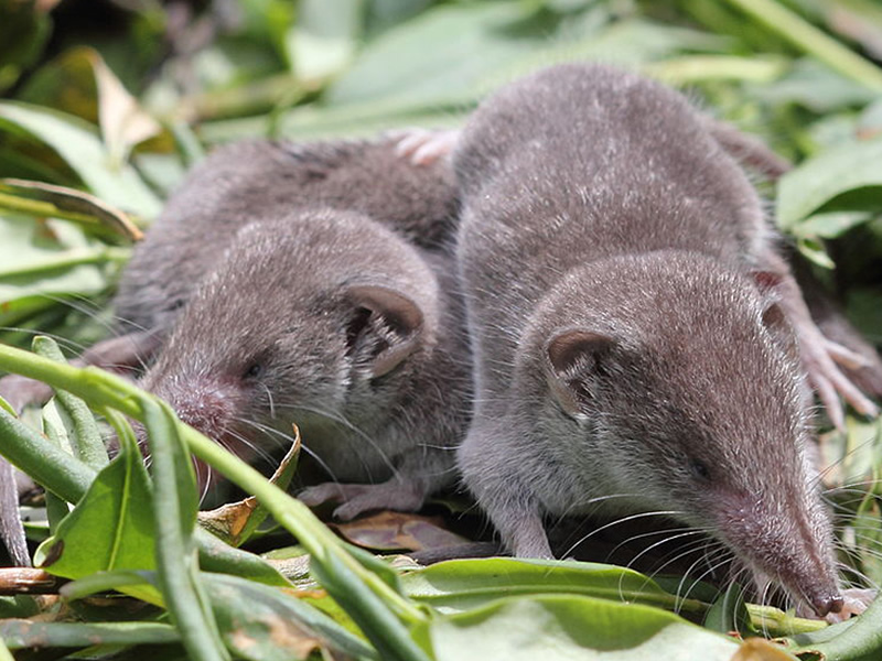 house-shrew-or-grey-musk-shrew