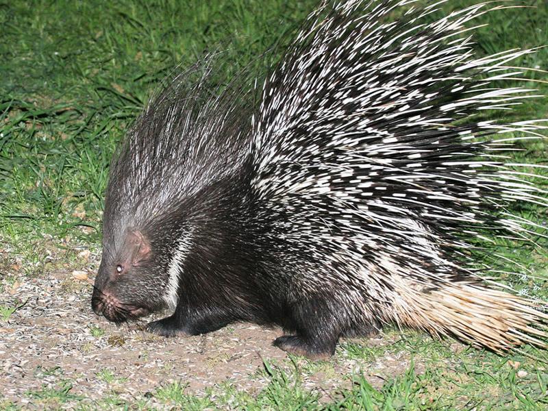 indian-crested-porcupine