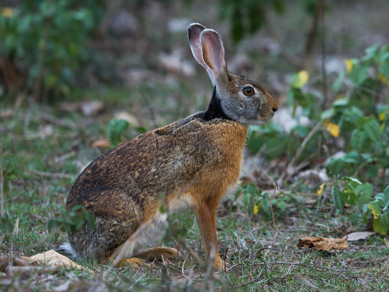 indian-or-blacked-napped-hare
