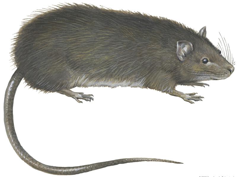 large-bandicoot-rat