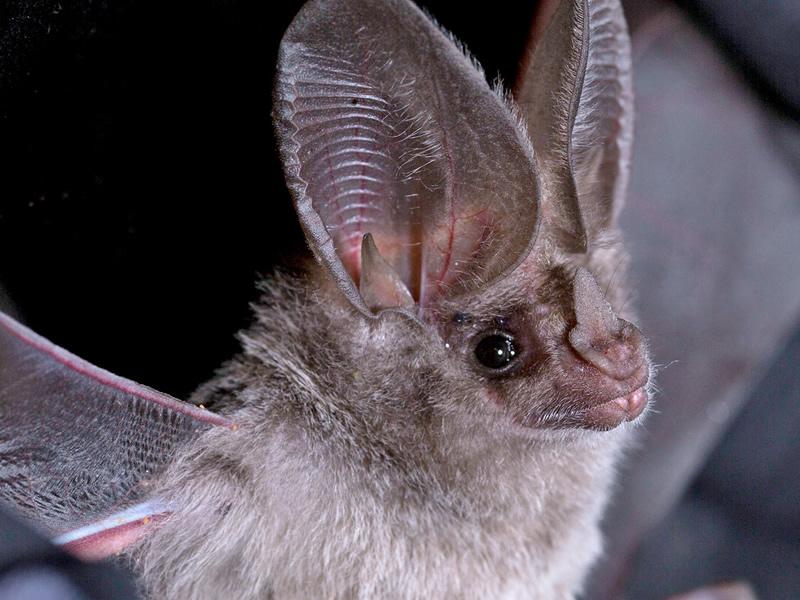 leaf-nosed-bat