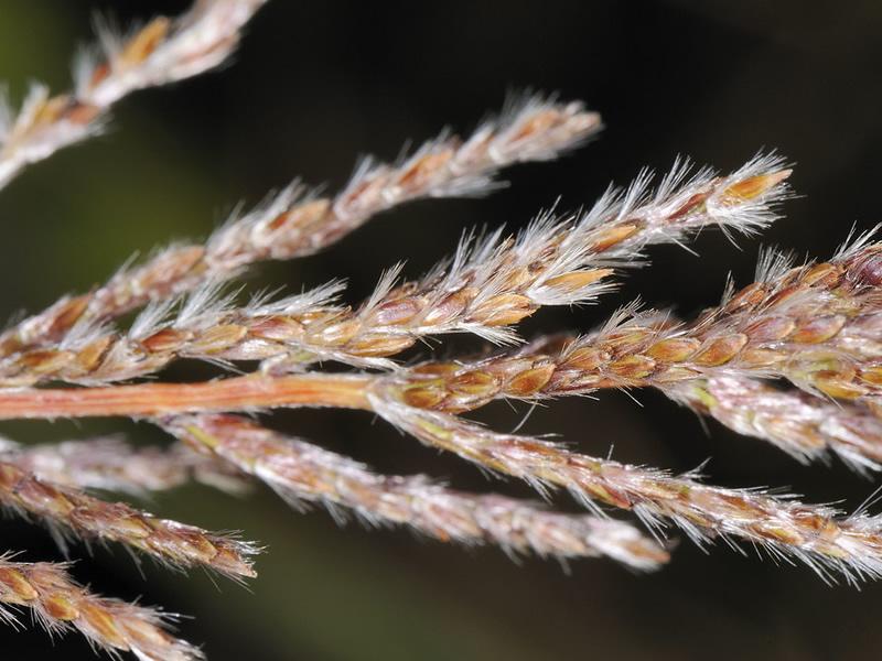 narenga-phphyrocoma-grass