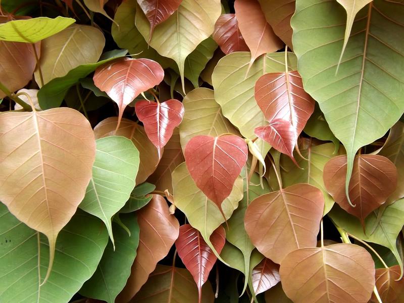 pipal-tree