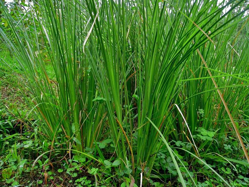vetiveria-zizanoides-grass
